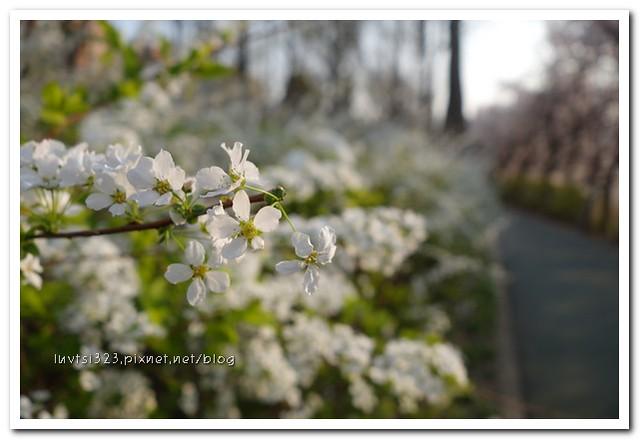 양재천벚꽃23