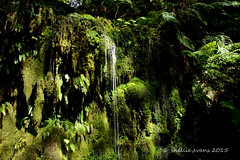 Waterfall & Moss Garden, Lyell, Buller Gorge, New Zealand (flyingkiwigirl) Tags: road old camp cemetery gold ghost mining gorge doc buller lyell 8mile gibbstown alpinebattery croesusbattery zalatown
