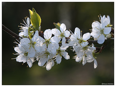 Greengage blossom (Duncan Darbishire) Tags: tree garden blossom gardening cumbria nook floraandfauna greengage rosside duncandarbishire