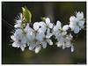 Greengage blossom (Duncan Darbishire) Tags: tree garden blossom gardening cumbria nook floraandfauna greengage rosside duncandarbishire