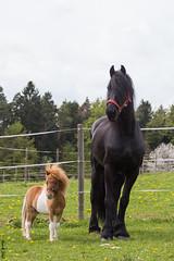 Pauli & Daen (HendrikSchulz) Tags: horses horse animal april pferde pferd weh 2015 animalphotography tierfotografie canonef70200f4lusm pferdefotografie horsephotography canoneos600d friesenstallweh hendrikschulz hendriktschulz mellexreitse