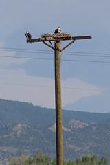 Osprey (Boulder Flying Circus Birders) Tags: osprey pandionhaliaetus birdwalk boulderreservoir stevefrye ospreyboulder ospreycolorado wildbirdboulder wildbirdcolorado ospreybouldercounty wildbirdcompany