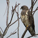 Swainson's Hawk by Metzger Farm Open Space, Colorado.