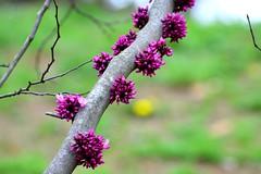 purple on a branch (Krasivaya Liza) Tags: park flowers trees atlanta flower nature floral beauty ga georgia season spring atl blossoms southern budding blooming