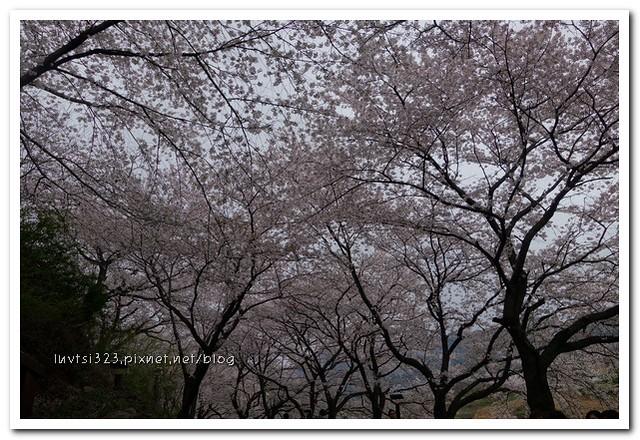 화개십리벚꽃길20