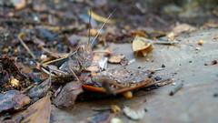 grasshopper face (John Tann) Tags: orange brown australia queensland april grasshopper orthoptera 2015 taxonomy:order=orthoptera geo:country=australia mountjimcrownationalpark