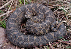 Eastern Massasauga Rattlesnake (Nick Scobel) Tags: nature michigan eastern rattlesnake venomous massasauga sisturus caternatus