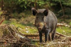 Wild Boar Sow (Rob Ward (Bothrops)) Tags: wildlife piglet forestofdean wildboar susscrofa robinward