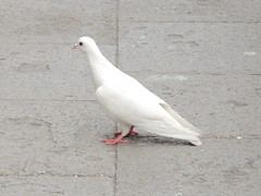 DSCN3113 peace dove (nbc_2011) Tags: white peace pigeon dove peacedove whitedove feralpigeon