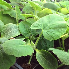 "Our heirloom seedlings are thriving down in the farmhouse root cellar. I can't wait to plant them out in the garden next week.   What do you have growing in the garden outside or inside until it is planting time?  #garden #seeds #heirloom #nonGMO #growyou • <a style=""font-size:0.8em;"" href=""http://www.flickr.com/photos/54958436@N05/17186191890/"" target=""_blank"">View on Flickr</a>"