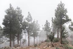 Fog (mauriciofcorridan) Tags: fog forest spain canarias tenerife niebla