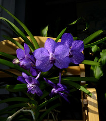 Vanda Unknown [Fire] orchid hybrid, my 1st bloom  2-15* (nolehace) Tags: sanfrancisco winter orchid flower fire 1st unknown bloom vanda hybrid 215 nolehace fz35