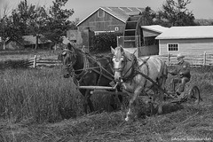 Horses at work -2 (digithief) Tags: horse ontario canada farm belgian milton plough clydesdale workhorse countryheritage percheron