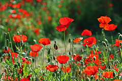Red Poppies (s_gulfidan) Tags: red poppies 300faves