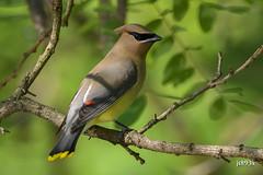 Cedar Waxwing (jt893x) Tags: bird nikon sigma waxwing cedarwaxwing d500 bombycillacedrorum nikond500 150600mm sigma150600mmf563dgoshsms