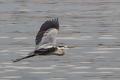 Great Blue Heron in Flight (lisanelson2011) Tags: galveston heron hermitcrab port fisherman pelican cheryl cormorant tern egret kem shrimpboats sanderling willet ruddyturnstone avocet redwingblackbird 2016 laughinggull reddishegret