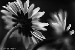 Light in the Dark (Mirrored-Images) Tags: flowers blackandwhite bw macro nature monochrome closeup daisies mono flora outdoor wildflower silverefexpro