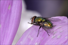 Garden fly (Darwinsgift) Tags: flowers macro garden fly nikon flash insects bee micro af nikkor f4 200mm sbr200