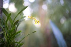 (kuuan) Tags: ltm bali orchid flower canon garden 50mm dof bokeh f14 rangefinder mf manualfocus ubud wideopen 1450 m39 f1450mm ilce7 canonltmf1450mm