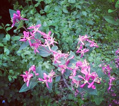 They also come in hot magenta (V and the Bats) Tags: flowers plants plant green leaves flora magenta honeysuckle inthegarden hotmagenta  instagram theyalsocomeinhotmagenta