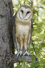 Barn Owl (Cat Girl 007) Tags: wild portrait bird nature closeup outdoors wings wildlife beak raptor owl perch perched hunter predator winged ornithology barnowl birdofprey talons tytoalba plumage