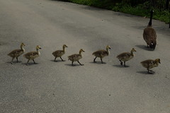 Canada Goose & Goslings 4 (Southpoint Park/NYC) (chedpics) Tags: newyork rooseveltisland canadagoose southpointpark