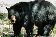 BlackBearMarked10 (1 of 1) (coldtrance) Tags: bear arizona black animal canon mammal outdoors zoo wildlife blackbear canont3