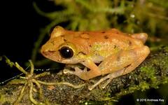Pristimantis subsigillatus (Ecuador Megadiverso) Tags: ecuador amphibian frog anura strabomantidae craugastoridae pristimantissubsigillatus cerropatadepjaro