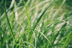 sanft (***toile filante***) Tags: light green nature grass licht natur meadow wiese gras grn
