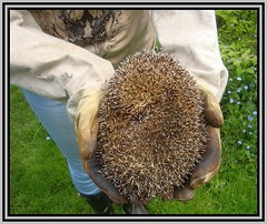 Handle With Care (Margaret Edge the bee girl) Tags: summer animal garden mammal outdoors gloves hedgehog spines prickles