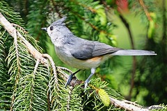 Tufted Titmouse (--Anne--) Tags: cute nature birds animals wildlife titmouse tufted sprucetree titmice