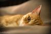 I'm awake (lindapecchioli) Tags: pet love animals cat rosso tigrato nikonflickraward