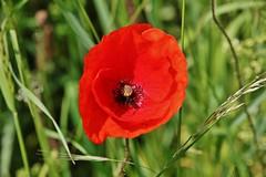 poppy (Hugo von Schreck) Tags: flower macro poppy blume makro blte mohnblume onlythebestofnature tamron28300mmf3563divcpzda010 canoneos5dsr hugovonschreck