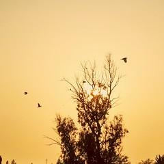 Sunset.....Back to Home.. (Farhan Ali RaNa) Tags: sunset tree nature colors birds evening scene pale winters backtohome