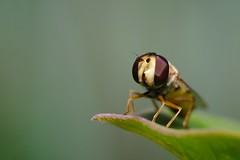 DSCF7114 (faki_) Tags: insect fuji fujifilm 24 60 250 hoverfly dcr rovar xe1 raynoxdcr250 zenglgy fujinonxf60mmf24rmacro