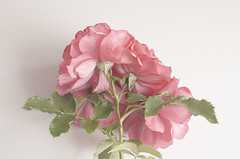 rose (lenospace) Tags: flowers plant nature minimalism backgroud