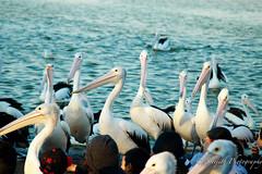 IMG_1051 (gsreejith) Tags: pelicans water birds pelican theentrance