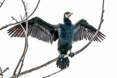 Great Cormorant 0L2A1455 (Kelvin Param) Tags: australia victoria glenroy
