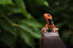 black collar chameleon (Ghattaura Photography) Tags: closeup pose nikon colorful 40mm chameleon mothernature rainyseason