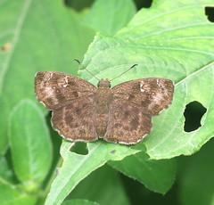 ecosystem/fauna/Common Small Flat(Sarangesa dasahara dasahara) (biodiversity western ghats) Tags: hesperiidae pyrginae butterflyindia diversityindia celaenorrhinini