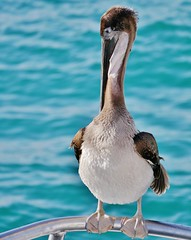 Galapagos Brown Pelican on Bow of the Queen of The Galapagos II (Susan Roehl) Tags: bird southamerica animal ecuador outdoor brownpelican santacruzisland highflyer waterlover photographictours pentaxk7 galapagos2013 naturalexposures sueroehl