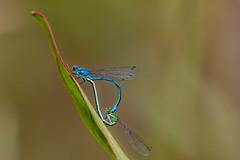Damselflies in Love (oliver.herbold) Tags: love nature heart outdoor mating libelle damselfly herz liebe paarung kleinlibelle oliverherbold