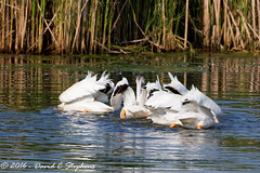 Pelican Scrum (dcstep) Tags: pelican americanwhitepelican cooperative scrum aurora colorado unitedstates us y6a8702dxo cherrycreekstatepark canon7dmkii ef500mmf4lisii dxoopticspro11 allrightsreserved copyright2016davidcstephens nature urban urbannature bird