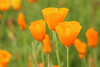 Golden Poppies (gripspix (OFF)) Tags: 20160605 nature natur plant pflanze blüte blossom poppy mohn goldmohn californianpoppy escholziacalifornica