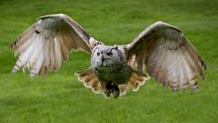 Impressive (Pegthree) Tags: orange flying eyes eagle flight feathers impact owl impressive
