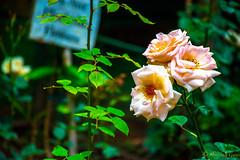 DSC_1960 (Amishrit) Tags: mountain snow rock forest garden landscape temple shimla flora nikon manali kulu chandigarh kufri rohtang hadimba d7100 vasista