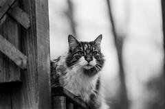 IMG_20160628_0006 (david_z_norton) Tags: pet pets film cat mackerel stripes tabby hp5 stripey ilford catpicture
