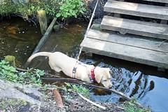 Sam in Inzell 2016 (Gnter Hentschel) Tags: hund dog germany germania deutschland alemania allemagne europa labrador labbi lab labby labs yellowlab yellowlabrador bayern inzell nikon nikond3200 d3200 urlaub ferien