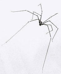 366 - Image 178 - Daddy long legs... (Gary Neville) Tags: sony photoaday 365 mk3 2016 366 garyneville rx100 365images 366images sonycybershotrx100 sonycybershotrx100iii