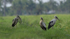 Threesome (Pond Pisut) Tags: 3 bird nature asian three nikon rice natural sigma telephoto tele ricefield naturelover openbill naturescape birdphotography birdphoto birdlover 120400 d7000